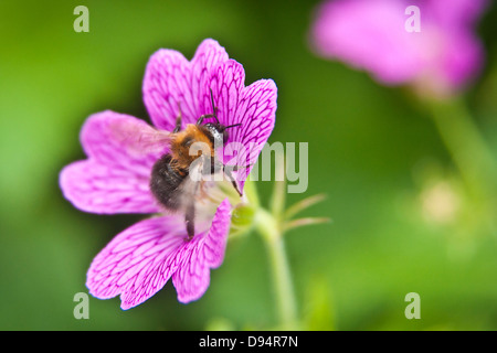 A bee taking pollen from a flower - Stock Photo