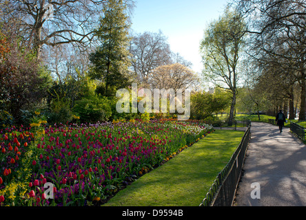 Multi coloured tulips growing in St James Park, London, UK May - Stock Photo