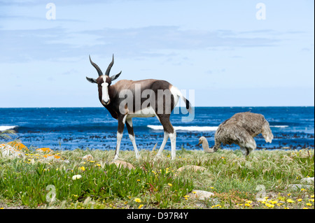 Bontebok (Damaliscus pygargus pygarus) and female ostrich (Struthio camelus), Cape of Good Hope, Western Cape, South - Stock Photo