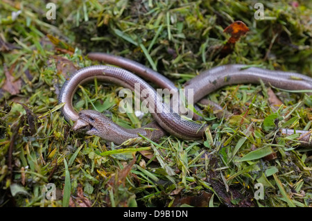 Slow worms mating, male holding female's head - Stock Photo