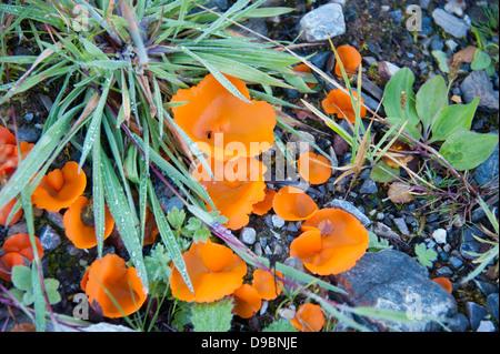 Orange peel fungus, Scotland, Great Britain, Europe, Mushroom, (Aleuria aurantia) , Orangebecherling, Schottland, - Stock Photo