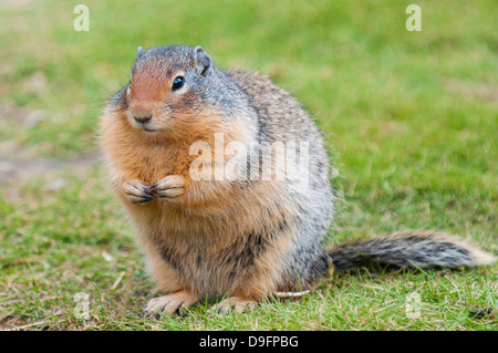 Columbian ground squirrel (Spermophilus columbianus), Barkersville, British Columbia, Canada - Stock Photo