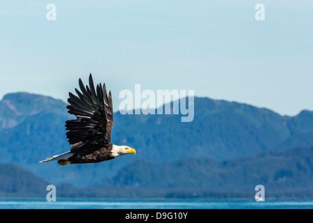Adult bald eagle (Haliaeetus leucocephalus), Inian Pass, Southeast Alaska, USA - Stock Photo
