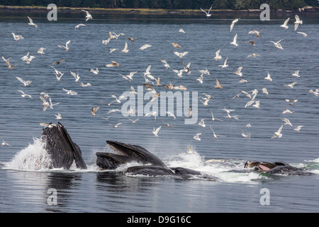 Adult humpback whales (Megaptera novaeangliae) co-operatively bubble-net feeding, Snow Pass, Southeast Alaska, USA - Stock Photo