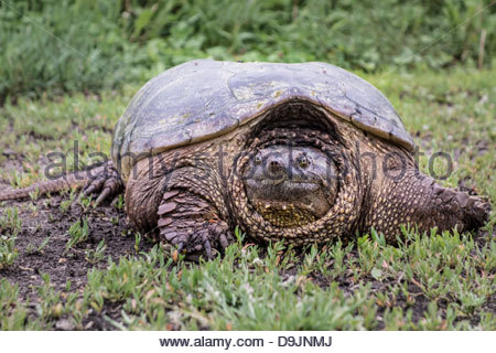 Common Snapping Turtle Chelydra serpentina in Rouge National Urban Park an urban wilderness in Toronto Ontario Canada. - Stock Photo