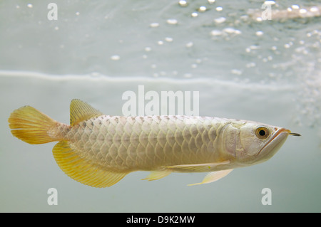 It is a Gold Arowana underwater from Asia - Stock Photo