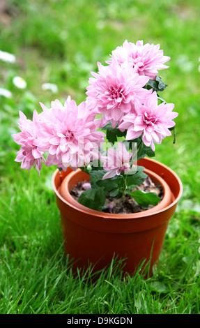 Pink japanese chrysanthemum in pot on green grass - Stock Photo