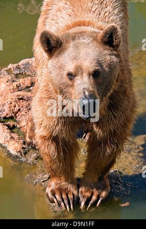 Syrian brown bear , Ursus arctos syriacus - Stock Photo