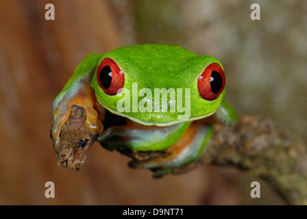 Red-eyed Treefrog (Agalychnis callidryas) in Costa Rica rainforest - Stock Photo