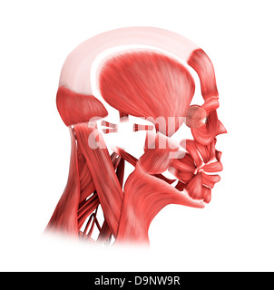 Medical illustration of male facial muscles, side view. - Stock Photo