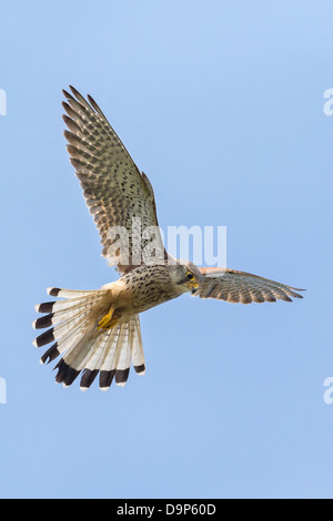 A  male Kestrel (Falco tinnunculus) hovers in flight against perfect blue sky in Pembrokeshire - Stock Photo