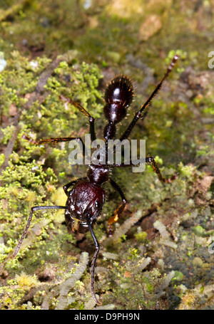 Bullet or Conga Ant (Paraponera clavata) in the rainforest, Ecuador. A dangerous species with a very painful sting. - Stock Photo