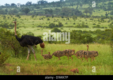 Ostrich (Struthio camelus) and chicks, Kruger National Park, South Africa - Stock Photo
