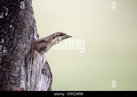 Wryneck, Jynx torquilla, single bird leaving nest, Bulgaria, May 2013 - Stock Photo