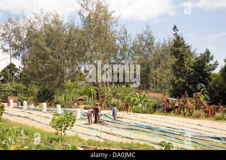 Coffee beans drying in the sun, near Goroka, Papua New Guinea - Stock Photo