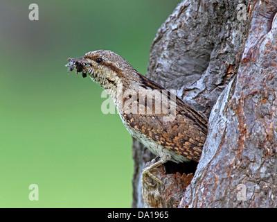 Eurasian wryneck leaving nest hole - Stock Photo