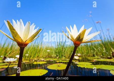 Two white water lilies blossoms reach toward the bright morning sky in Okavango Delta, Chobe National Park, Botswana, - Stock Photo