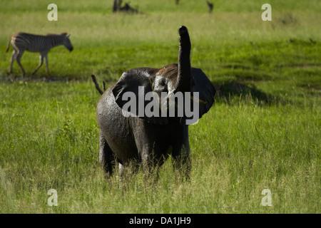 Elephant smelling the air (Loxodonta africana), Hwange National Park, Zimbabwe, Southern Africa - Stock Photo
