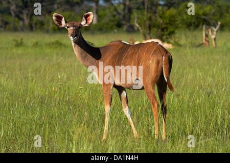 Female Greater Kudu (Tragelaphus strepsiceros), Hwange National Park, Zimbabwe, Southern Africa - Stock Photo