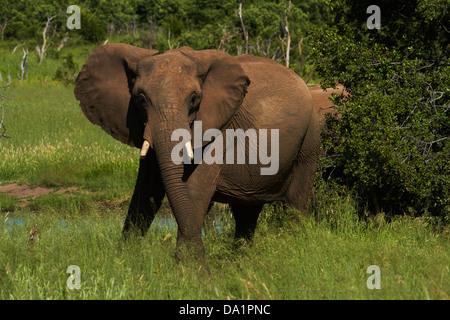 Elephant (Loxodonta africana), Hwange National Park, Zimbabwe, Southern Africa - Stock Photo