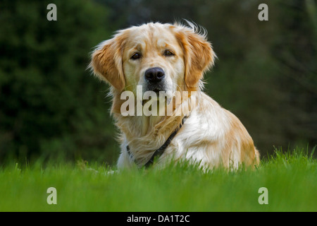 Golden retriever (Canis lupus familiaris) dog lying on lawn in garden - Stock Photo
