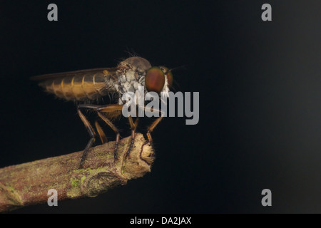The Asilidae are the robber fly family, also called assassin flies. - Stock Photo