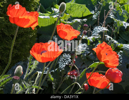 Bright red oriental poppies in flower in garden herbaceous border, backlit in sunshine,early summer, Cumbria, England - Stock Photo