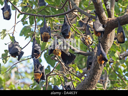 Lyle's Flying Fox (Pteropus lylei) adults, group hanging at daytime roost, Siem Reap, Cambodia, January - Stock Photo