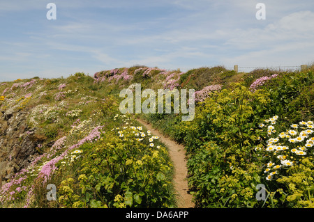 Spring flowers on the Pembrokeshire coast path near St Justinians Wales Pembrokeshire Wales Cymru UK GB - Stock Photo