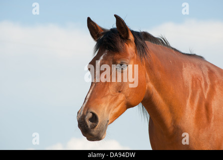 Beautiful, shiny, bay Arabian horse looking calmly to the left of the viewer against partly cloudy sky - Stock Photo