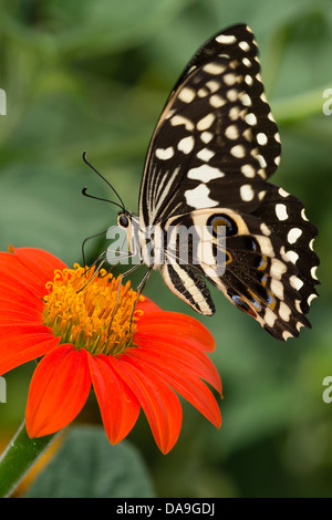 A Lime Swallowtail butterfly - Stock Photo