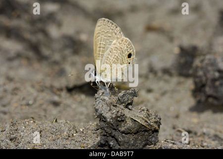 TAILESS LIME BLUE Chilades laius (Stoll) Common Golaghat District, Assam, INDIA - Stock Photo