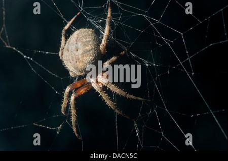 orb weaving spider (Neoscona crucifera) sitting in its web. - Stock Photo