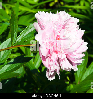 Pink Double Peony Flower Sarah Bernhardt Bloom in a Cheshire Garden Alsager England United Kingdom UKpaeony - Stock Photo