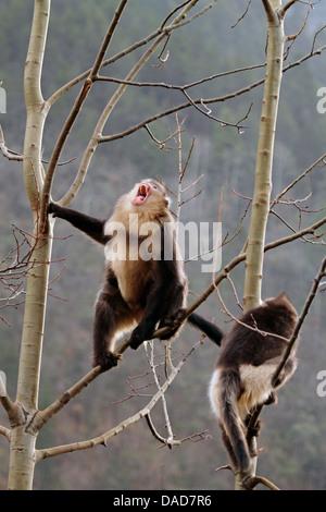 Black snub-nosed monkey, Yunnan snub-nosed monkey (Rhinopithecus bieti), Snub-nosed monkeys in tree , China, Yunnan, - Stock Photo
