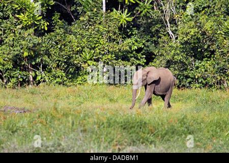 Forest elephant, African elephant (Loxodonta cyclotis, Loxodonta africana cyclotis), young elephants leaving the - Stock Photo