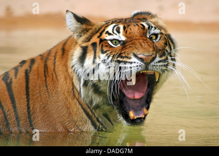 Siberian tiger, Amurian tiger (Panthera tigris altaica), sitting in the water snarling - Stock Photo