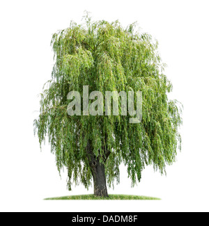 isolated weeping willow on a white background - Stock Photo
