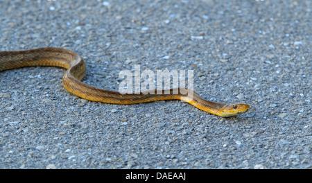 Brown Water Snake (Nerodia taxispilota), creeping on the ground, USA, Florida - Stock Photo