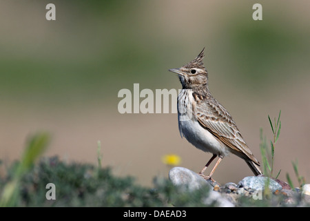 crested lark (Galerida cristata), male standing on the ground, Turkey, Birecik - Stock Photo
