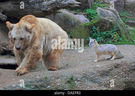 Syrian brown bear (Ursus arctos syriacus), with Corsac Fox in the zoo - Stock Photo
