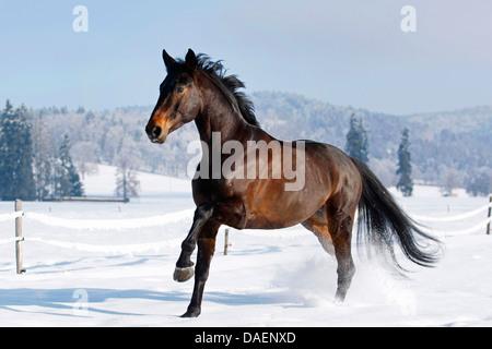 Altwuerttemberg (Equus przewalskii f. caballus), dark brown stallion gallopping over a paddock, Switzerland - Stock Photo