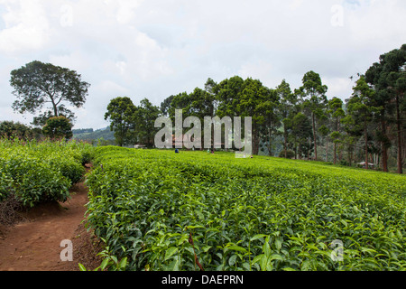 path in tea plantation in rainy season, Burundi, Gitega - Stock Photo
