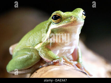 (dpa file) - A file picture dated 03 February 2008 shows a common tree frog sitting in its terrarium at the wildlife - Stock Photo
