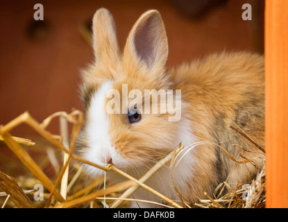 Lionhead rabbit (Oryctolagus cuniculus f. domestica), young Lionhead rabbit sitting in the hutch, Germany - Stock Photo