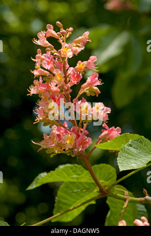 red horse chestnut, pink horse chestnut (Aesculus x carnea, Aesculus carnea), blooming branch, Germany - Stock Photo