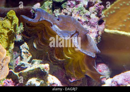 Elongated clam, Elongate clam, Small giant clam, Blue Maxima Clam (Tridacna maxima), amongst stones - Stock Photo