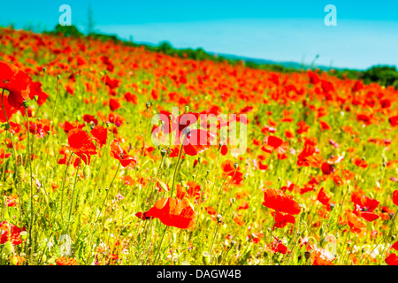 Poppy Field South Downs National Park West Sussex England - Stock Photo
