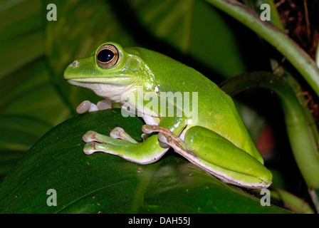 Blanford's whipping frog, Asian gliding tree frog,  Asian gliding treefrog, Chinese flying frog, Chinese gliding - Stock Photo