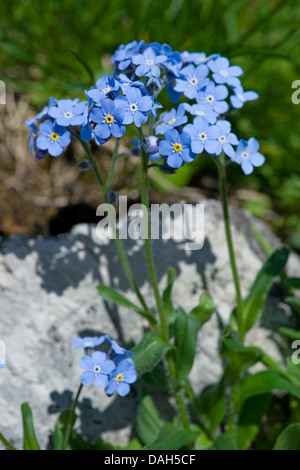 Alpine forget-me-not (Myosotis alpestris), blooming, Switzerland - Stock Photo